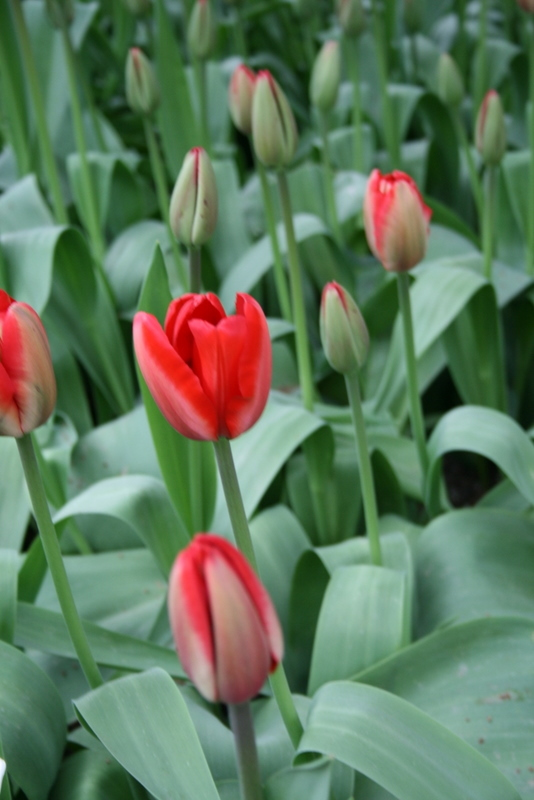 Tulips_tulipa_red_impression-2.full