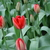 Tulips_tulipa_red_impression-2.small
