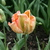 Tulips_tulipa_salmon_parrot-2.small