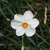 Daffodils_and_narcissus_narcissus_poeticus_recurvus-2.small