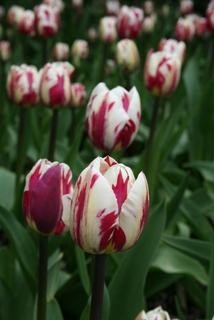 Tulip, Triumph 'Rem's Sensation'