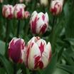 Tulips_tulipa_rem_s_sensation-5.thumb