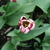 Tulips_tulipa_rem_s_sensation-5.small