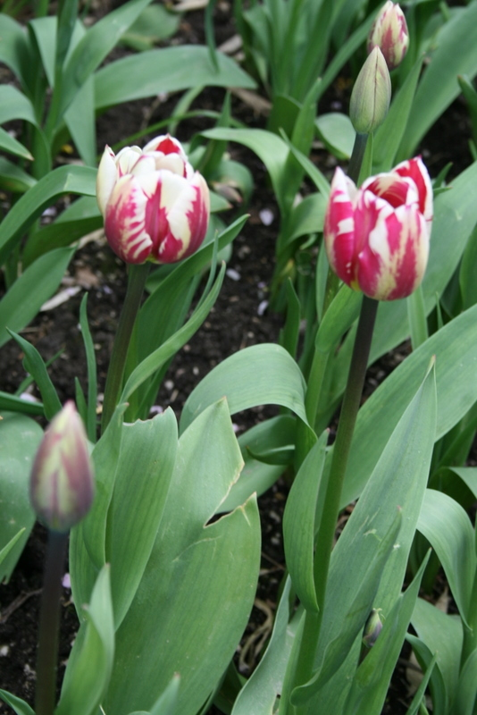 Tulips_tulipa_rem_s_sensation-5.full