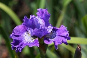 Iris, Siberian, 'blueberry fair'