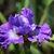 Iris: iris, siberica 'blueberry fair'