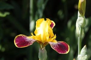 Iris, Siberian, 'bumblebee deelite'
