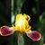 Iris: iris, siberica 'bumblebee deelite'