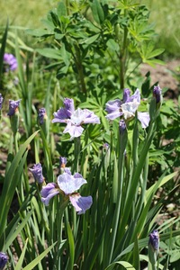 Iris, Siberian, 'careless sally'