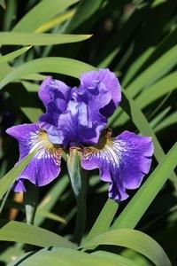 Iris, Siberian, 'coronation anthem'