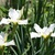 Iris: iris, siberica 'king of kings'