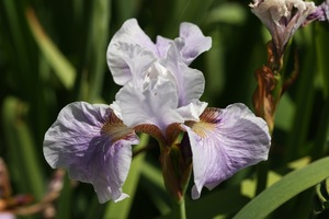 Iris, Siberian, 'lavender bounty'