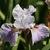 Iris: iris, siberica 'lavender bounty'
