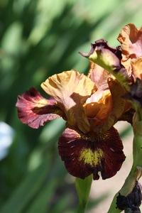 Iris, Siberian, 'masked bandit'