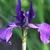 Iris: iris, siberica 'pansy purple'