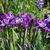 Iris: iris, siberica 'roaring jelly'