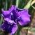 Iris: iris, siberica 'rosebud melody'