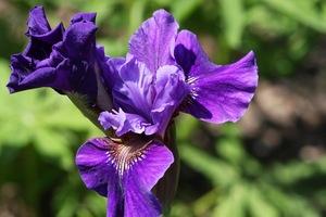 Iris, Siberian, 'ruffled velvet'