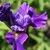 Iris: iris, siberica 'ruffled velvet'