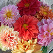 Dahlias_dahlia_watercolors-1.thumb