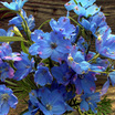 Delphiniums_delphinium_blue_mirror.thumb