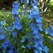 Delphiniums_delphinium_blue_mirror-1.thumb
