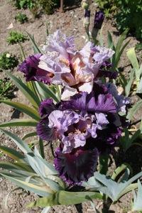 Iris, intermediate bearded, 'el cerrito'