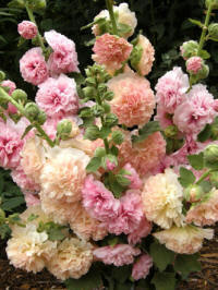 Hollyhocks_alcea_rosea_apricot-peach_parfait.full