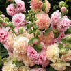 Hollyhocks_alcea_rosea_apricot-peach_parfait.thumb
