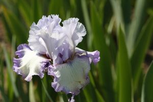 Iris, tall bearded, 'acoma'