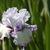 Iris: iris germanica 'acoma'