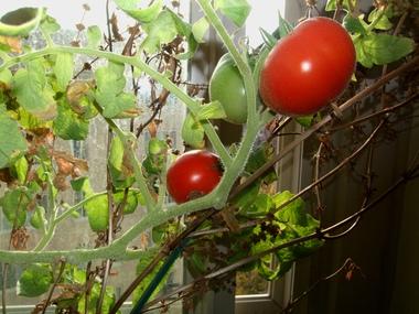 Growing TomatoesIndoors