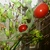 Solanum_lycopersicum_super_bush_renee_s_garden_the_indoor_garden_er_digthedirt.small