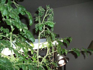 Solanum_lycopersicum_ace_bush_botanical_interests_the_indoor_garden_er_digthedirt.detail