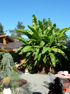 banana plants reached up to 15 feet high this year!