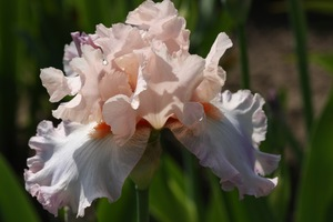 Iris, tall bearded, 'celebration song'