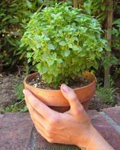 Basil-windowbox2.detail