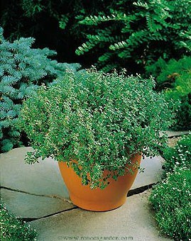 Thyme-french2.detail