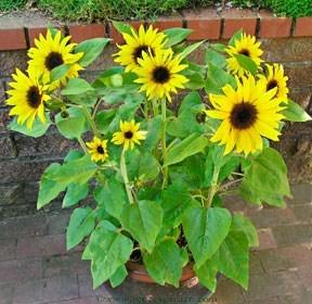 Sunflower-junior2.full