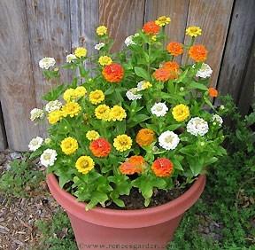 Zinnias 'pixie' from Renee's Garden