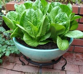 Lettuce-baby-romaine_4_.detail