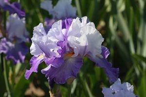 Iris, tall bearded, 'duo dandy'