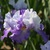 Iris: iris germanica 'duo dandy'