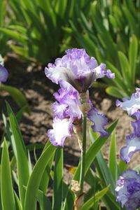 Iris, tall bearded, 'earl of essex'