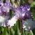 Iris: iris germanica 'earl of essex'