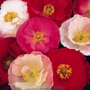 Poppies_papaver_rhoeas_shirley_group.full