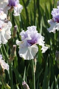 Iris, tall bearded, 'fogbound'