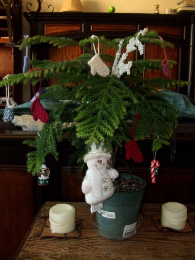 i have had this norfolk island pine araucaria heterophylla for a little more than a yeari got it last year to be my christmas tree - Year Round Christmas Tree