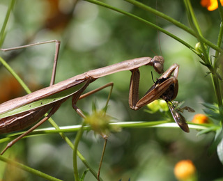 Praying Mantis enjoying lunch