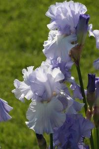 Iris, tall bearded, 'hilltop view'